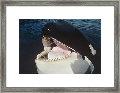 Orca Portrait North America Framed Print