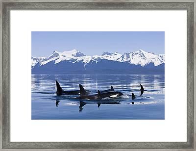Orca Surface In Lynn Canal Near Juneau Framed Print by John Hyde