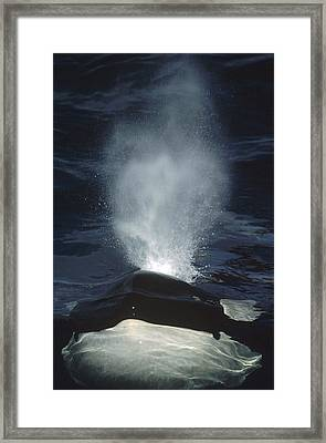 Orca Surfacing British Columbia Canada Framed Print by Flip Nicklin