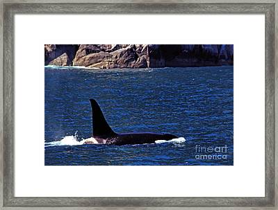 Orca Surfacing Framed Print by Thomas R Fletcher