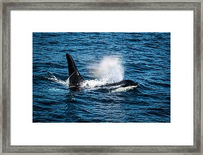 Orca Whale On The Move Framed Print by Puget  Exposure