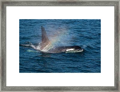 Orca Whale Surfacing Framed Print by Puget  Exposure