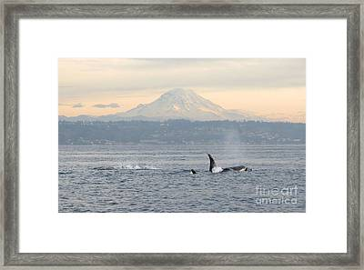 Orcas And Mt. Rainier Framed Print