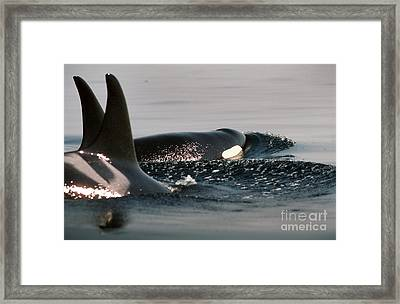 Framed Print featuring the photograph Orcas/killer Whales Off The San Juan Islands 1986 by California Views Mr Pat Hathaway Archives