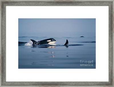 Framed Print featuring the photograph Orcas Off The San Juan Islands Washington  1986 by California Views Mr Pat Hathaway Archives