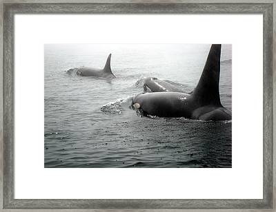 Orcas Framed Print by Susan Woodward