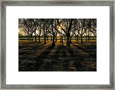 Orchard At Sunset Framed Print