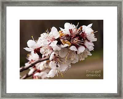 Orchard Blooms Framed Print