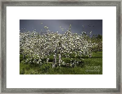 Orchard Framed Print by Karin Pinkham