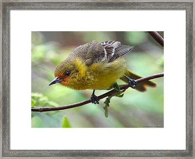 Orchard Oriole Female Framed Print