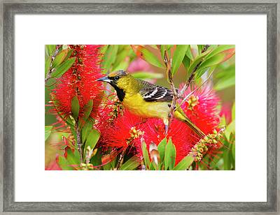 Orchard Oriole (icterius Spurius Framed Print