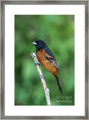 Orchard Oriole Icterus Spurius Adult Framed Print by Anthony Mercieca