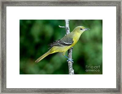 Orchard Oriole Icterus Spurius Female Framed Print by Anthony Mercieca