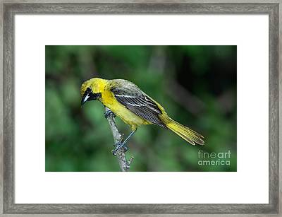 Orchard Oriole Icterus Spurius Juvenile Framed Print by Anthony Mercieca