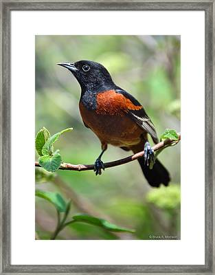 Orchard Oriole Male Framed Print by Bruce Morrison