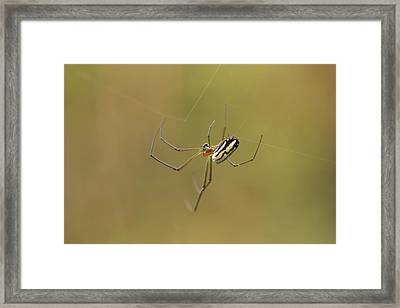 Orchard Spider Framed Print