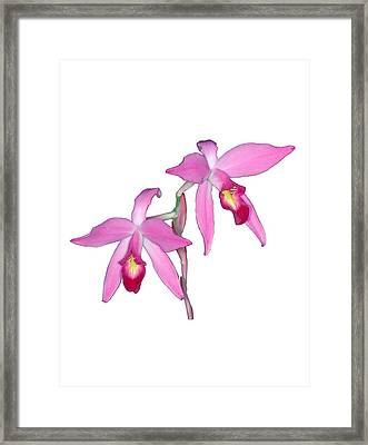 Orchid 1-1 Framed Print by Andy Shomock