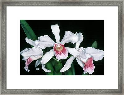 Orchid 10 Framed Print by Andy Shomock