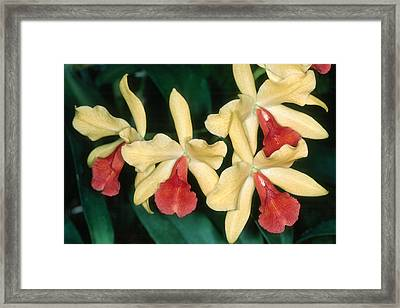 Orchid 11 Framed Print by Andy Shomock