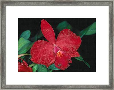 Orchid 12 Framed Print by Andy Shomock