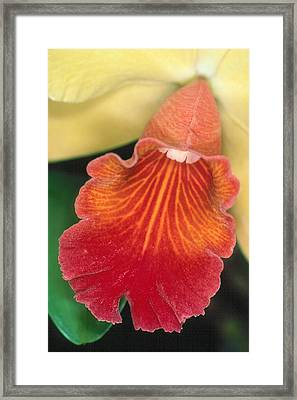 Orchid 16 Framed Print by Andy Shomock