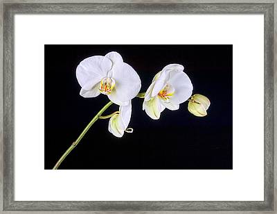 Orchid 2a Framed Print by Mauro Celotti