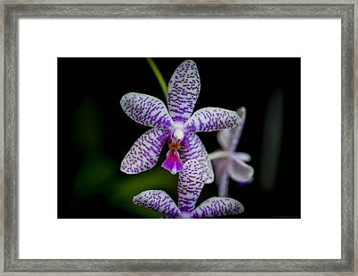 Orchid #3 Framed Print by Phil Abrams