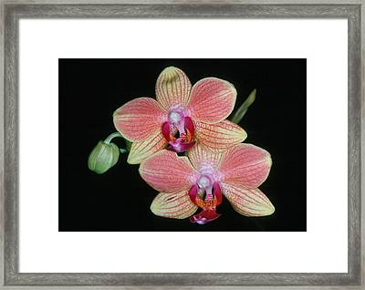 Orchid 4 Framed Print by Andy Shomock