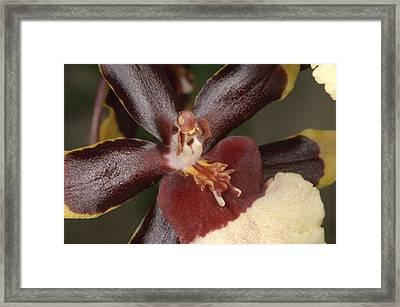 Orchid 497 Framed Print