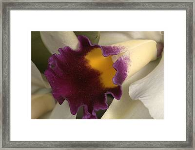 Orchid 502 Framed Print
