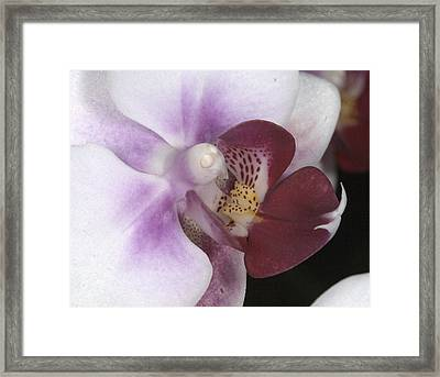 Orchid 503 Framed Print