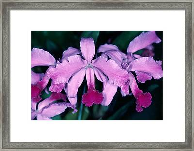 Orchid 6 Framed Print by Andy Shomock