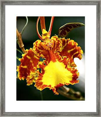 Orchid Framed Print by Andrew Chianese