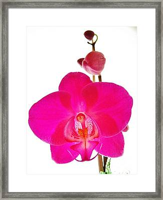 Orchid Angel 1 Framed Print