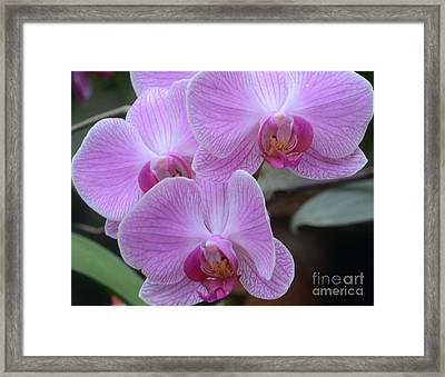 Orchid Beauties Framed Print