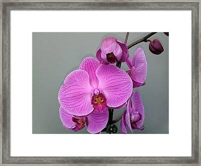 Orchid Beauty Framed Print by Jo-Ann Hayden
