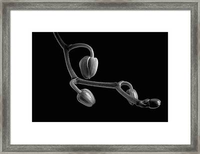Orchid Buds  Waterloo, Quebec, Canada Framed Print