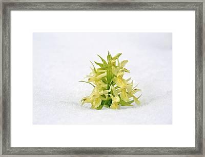 Orchid (dactylorhiza Sambucina) Flowers Framed Print by Bob Gibbons