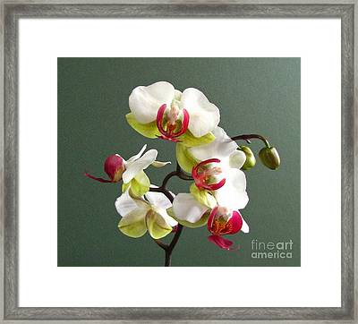 Orchid Framed Print by Deborah Johnson
