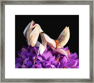 Orchid Female Mantis  Hymenopus Coronatus  7 Of 10 Framed Print by Leslie Crotty