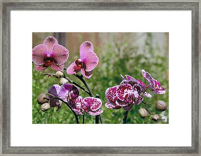 Orchid Field Framed Print by Paula Rountree Bischoff