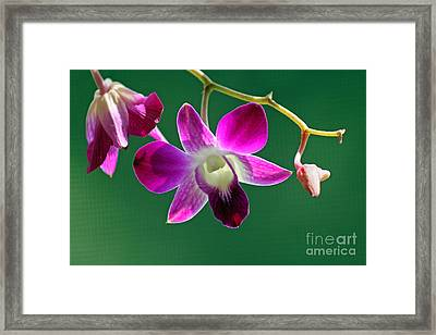 Orchid Flower Framed Print by Karen Adams