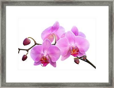 Orchid Flowers II - Pink Framed Print by Natalie Kinnear