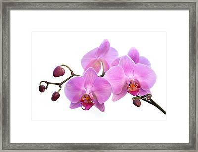 Orchid Flowers - Pink Framed Print by Natalie Kinnear