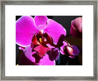 Orchid From My Valentine 3 Framed Print