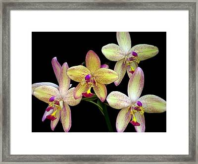 Orchid In Blossom Framed Print by Zina Stromberg