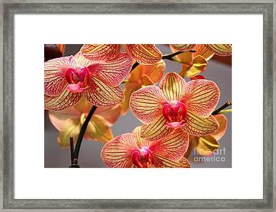 Orchid Framed Print by Judy Palkimas