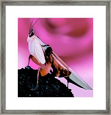 Orchid Male Mantis In Front Of Red Rose Framed Print
