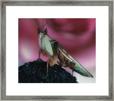 Orchid Male Mantis  Hymenop  Portrait  #7 Of 9 Framed Print