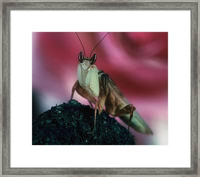 Orchid Male Mantis  Hymenopus Coronatus  Portrait  2 Of 9 Framed Print